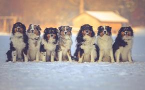 Картинка зима, собаки, друзья, Австралийская овчарка