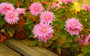 Картинка Flowers, Pink flowers, Розовые цветы