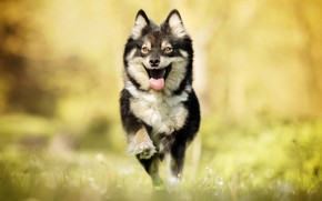 Картинка радость, собака, бег, прогулка, боке