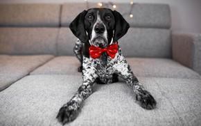 Картинка взгляд, комната, диван, праздник, новый год, собака, лапы, огоньки, лежит, серый фон, бантик, пёс, галстук-бабочка, …
