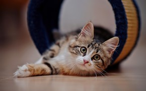 Картинка кошка, кот, взгляд, мордочка, лежит, на полу, боке