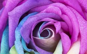 Картинка цветок, макро, роза, радуга, бутон, rainbow, rose, flower, macro, Bud