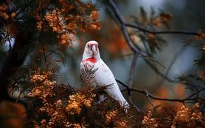 Картинка ветки, дерево, птица, попугай, Акация, Носатый какаду