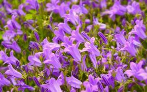 Картинка Весна, Колокольчики, Spring, Purple flowers
