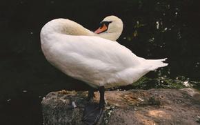 Картинка животные, вода, природа, озеро, птица, камень, лебедь, белый лебедь, лебедь на камне