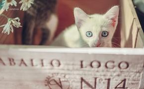 Картинка взгляд, ромашки, мордочка, котёнок, ящик, голубые глаза, белый котёнок