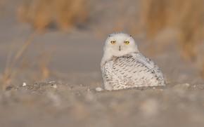 Картинка песок, глаза, взгляд, природа, фон, сова, птица, перья, желтые, белая, сидит, полярная, былинки, пестрая