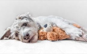 Обои взгляд, игрушка, собака, Джек-рассел-терьер