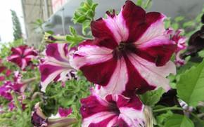 Картинка цветы, клумба, петунии, Meduzanol ©