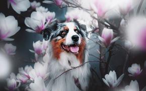 Обои ветки, Австралийская овчарка, Аусси, магнолия, цветки, собака