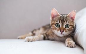 Обои котёнок, мордочка, взгляд