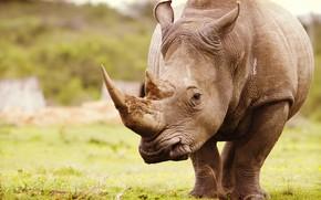 Картинка носорог, Африка, природа