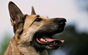 Картинка собаки, овчарка, мой друг