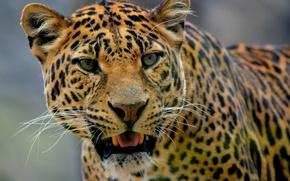 Обои морда, портрет, леопард, дикая кошка