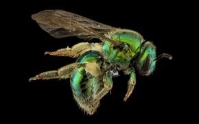 Картинка природа, пчела, насекомое, augochloropsis metallica