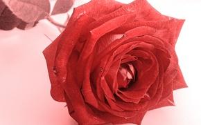 Картинка цветок, роза, красная