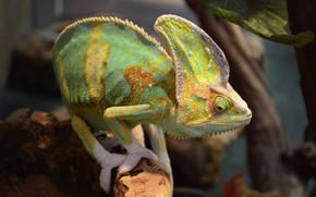 Картинка животные, ящерица, экзотика, террариум, пресмыкающиеся, йеменский хамелеон