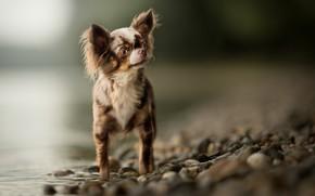 Картинка вода, боке, Чихуахуа, собачонка