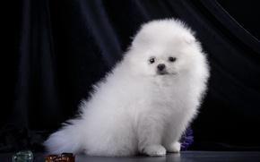 Картинка белый, щенок, шпиц