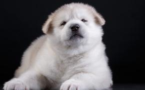 Картинка щенок, забавный, акита