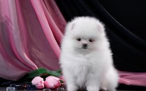 Картинка белый, пушистый, тюльпаны, щенок, шпиц