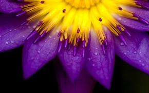 Картинка цветок, капли, роса, лепестки, водяная лилия