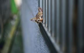 Обои размытость, забор, мордочка, полосатый котёнок