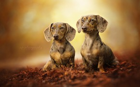 Картинка листья, пара, боке, две собаки, Такса