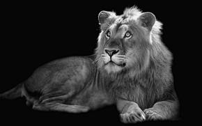 Картинка фон, лев, зверь