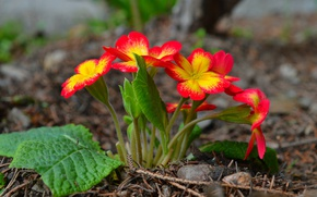 Картинка Весна, Цветочки, Flowers, Spring, Примула