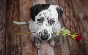Картинка друг, роза, собака