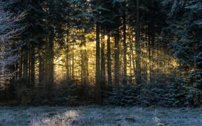 Картинка зима, иней, лес, солнце, лучи, деревья, пейзаж, ветки, природа, сосны, хвоя, хвойный
