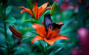 Картинка макро, бабочка, лилия, бутоны