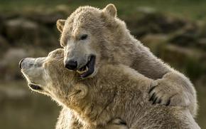 Картинка медведи, белые медведи, обнимашки, полярные медведи, два медведя