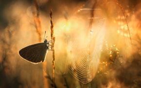 Обои трава, бабочка, паутина, свет, макро, утро, боке