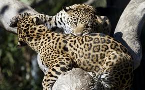 Картинка игра, хищники, борьба, драка, пятна, окрас, дикие кошки, парочка, молодые, зоопарк, детёныши, ягуары