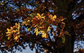 Обои листья, осень, боке, дуб, дерево