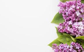 Картинка цветы, весна, сирень
