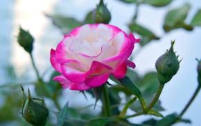 Картинка розовый, роза, бутоны