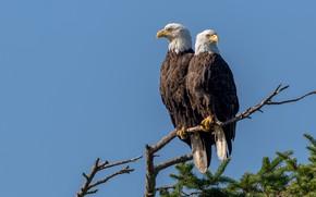 Картинка птицы, природа, Vancouver Island, Bald Eagle Pair
