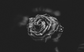 Картинка цветок, капли, роза, лепестки, черно-белое