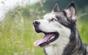 Картинка язык, трава, морда, собака, хаски