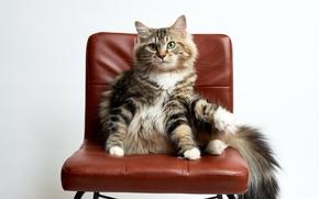 Обои стул, взгляд, кошка