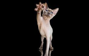Картинка кошка, лапа, портрет, Сфинкс, когти, чёрный фон