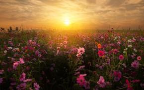 Обои закат, космея, солнце, поле, небо, цветы
