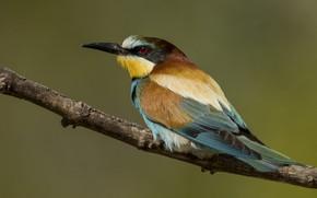 Картинка птицы, ветка, золотистая щурка