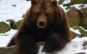 Обои язык, лапы, морда, медведь