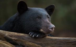 Картинка взгляд, морда, портрет, Барибал, Чёрный медведь