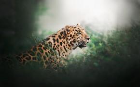 Картинка зелень, леопард, дикая кошка, боке