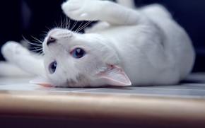 Обои голубые глаза, by ONE-Photographie, лежит, кошка